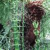 EquisetumGiganteum4.jpg 720 x 960 px 441.7 kB