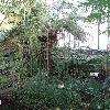 EquisetumGiganteum.jpg 681 x 908 px 430.67 kB