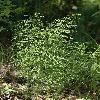 EquisetumSylvaticum.jpg 532 x 800 px 334.44 kB