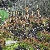 EquisetumTelmateia3.jpg 1024 x 768 px 266.19 kB
