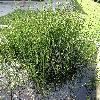 EquisetumVariegatum.jpg 681 x 908 px 280.9 kB