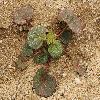 EremalcheRotundifolia2.jpg 1200 x 900 px 596.71 kB