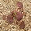 EremalcheRotundifolia.jpg 1199 x 900 px 573.58 kB