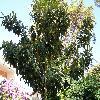 EriobotryaJaponica4.jpg 1127 x 845 px 283.94 kB