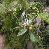 EriobotryaJaponica8.jpg 1024 x 768 px 271.74 kB