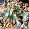 EritrichiumNanum.jpg 961 x 859 px 390.3 kB