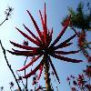 ErythrinaCaffra2.jpg 640 x 480 px 59.05 kB