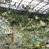 ErythrinaCaffra3.jpg 615 x 820 px 192.28 kB