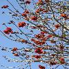 ErythrinaCaffra8.jpg 600 x 903 px 440.81 kB