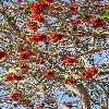 ErythrinaCaffra9.jpg 600 x 903 px 439.15 kB
