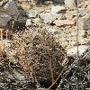 EscobariaVivipara2.jpg 600 x 903 px 380.04 kB
