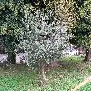 Eucalyptus2.jpg 1110 x 833 px 343.86 kB