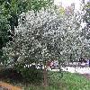 Eucalyptus3.jpg 1110 x 833 px 320.88 kB