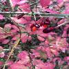 EuonymusAlatus3.jpg 681 x 908 px 410.86 kB