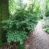 EuonymusAlatusCompactus4.jpg 1204 x 903 px 402.94 kB
