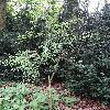 EuonymusBungeanus.jpg 720 x 960 px 557.75 kB