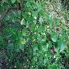 EuonymusFortuneiCarrierei2.jpg 1024 x 768 px 222.15 kB