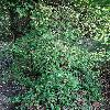 EuonymusFortuneiCarrierei.jpg 681 x 908 px 517.46 kB