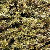 EuonymusFortuneiEmeraldnGold.jpg 600 x 800 px 208.4 kB