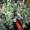 EuonymusFortuneiHarlequin.jpg 1024 x 768 px 273.94 kB