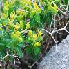 EuphorbiaAcanthothamnos2.jpg 774 x 518 px 79.65 kB