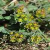 EuphorbiaAlatavica.jpg 600 x 903 px 363.94 kB