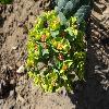 EuphorbiaMyrsinites2.jpg 1059 x 855 px 289.01 kB