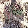 EuphorbiaMyrsinites4.jpg 1024 x 768 px 289.62 kB
