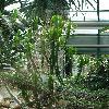 EuphorbiaPersistentifolia.jpg 681 x 908 px 409.78 kB