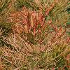EuphorbiaTirucalli9.jpg 797 x 1200 px 527.18 kB