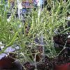 EuphorbiaTirucalli.jpg 576 x 768 px 145.71 kB