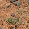EversmanniaSubspinosa.jpg 1204 x 800 px 557.75 kB