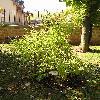 ExochordaRacemosa7.jpg 576 x 768 px 156.09 kB