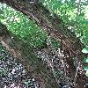 ExochordaRacemosa8.jpg 681 x 908 px 458.33 kB