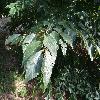 FagusGrandifolia2.jpg 1219 x 914 px 259.64 kB