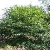 FagusGrandifolia.jpg 681 x 908 px 285.44 kB