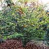 FagusOrientalis.jpg 720 x 960 px 578.57 kB