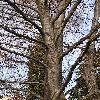 FagusSylvatica5.jpg 576 x 768 px 194.73 kB