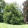 FagusSylvaticaAsplenifolia3.jpg 1127 x 845 px 326.9 kB