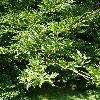 FagusSylvaticaAsplenifolia4.jpg 615 x 820 px 196.56 kB