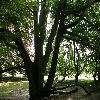 FagusSylvaticaAsplenifolia.jpg 1127 x 845 px 263.85 kB