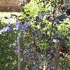 FagusSylvaticaAtropunicea2.jpg 1024 x 768 px 231.02 kB