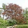 FagusSylvaticaAtropurpurea4.jpg 630 x 840 px 189.91 kB