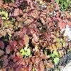 FagusSylvaticaAtropurpurea.jpg 1024 x 768 px 260.76 kB