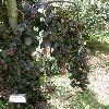 FagusSylvaticaPurpleFontain2.jpg 630 x 840 px 178.23 kB