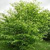 FagusSylvaticaQuercifolia.jpg 681 x 908 px 448.84 kB