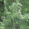FagusSylvaticaRotundifolia.jpg 1167 x 875 px 300.04 kB