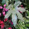 FatsiaJaponica2.jpg 1024 x 768 px 171.41 kB
