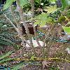 FatsiaJaponica9.jpg 615 x 820 px 151.21 kB