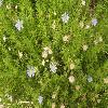 FeliciaAmelloides.jpg 800 x 599 px 116.67 kB